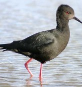 Fauna - Endangered Black Stilt (Kaki) photo courtesy of Emily Sancha, D.O.C