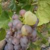 Pinot Gris - <p></p>