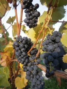 Domain Road Vineyard - Harvest 2016 (3) - <p></p>