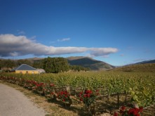Domain Road Vineyard - Cuisine Top 10 Rose - <p>Roses and Pinot Noir vines!</p>