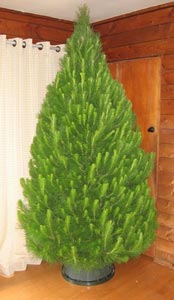 freshly cut Christmas tree